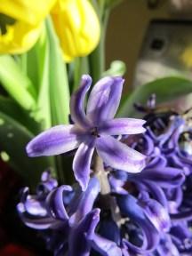 purple hyacinth macro