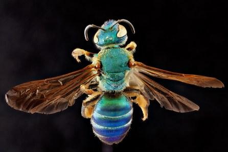 agapostemon splendens. Sam Droege via flickr Creative Commons
