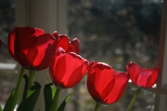 Red tulips. Image by cranberries via Flickr CC.