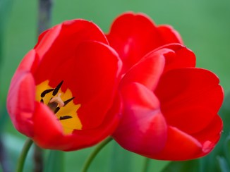 Red Tulips. Images by James Petts via Flickr CC.