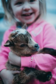 Toddler with dwarf goat farm kids