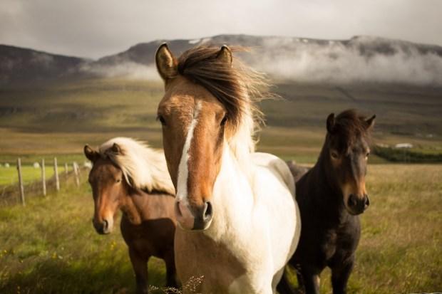 Många hästar trivs utmärkt på lösdrift.