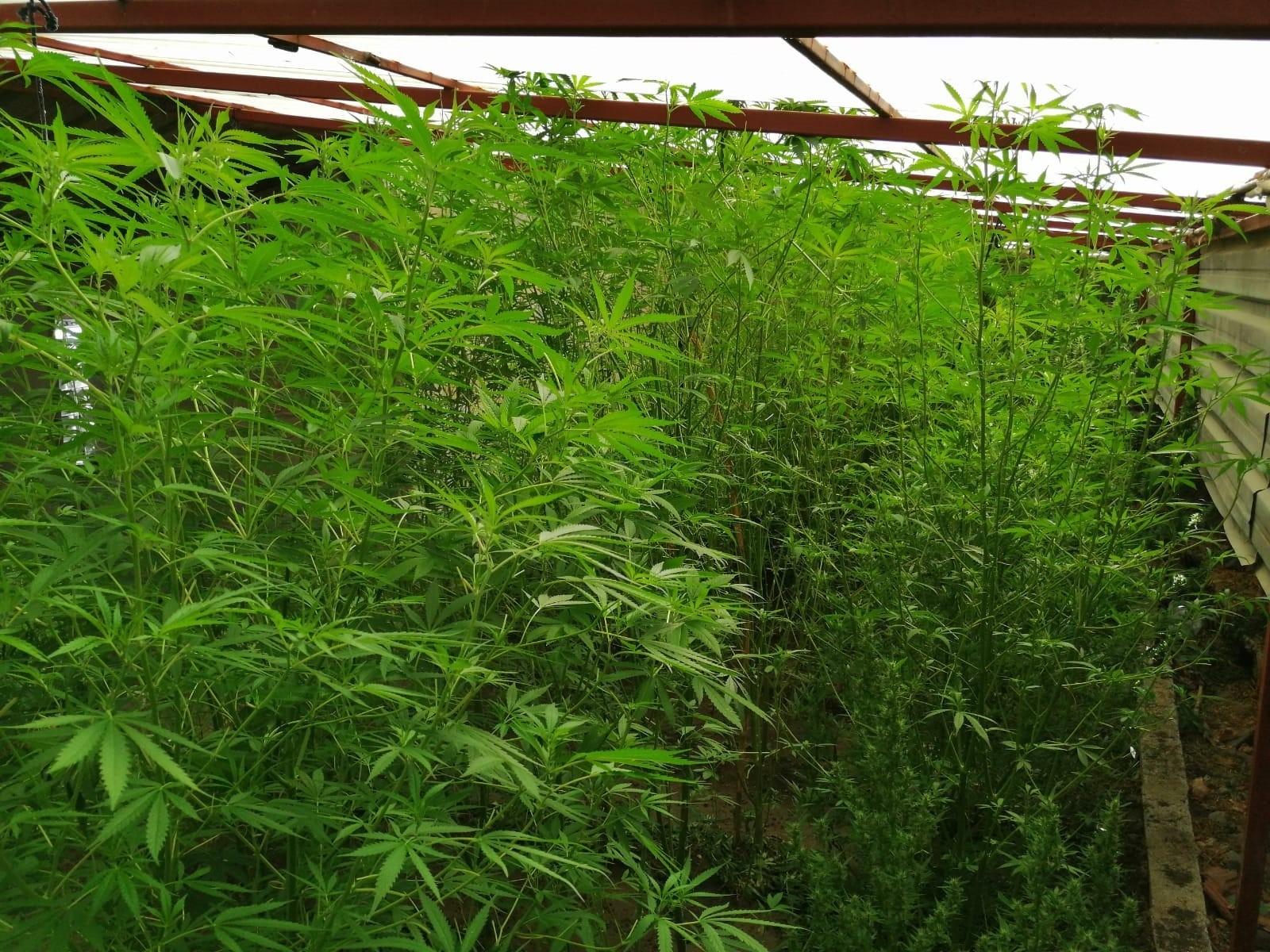 Hatay'da 110 kök kenevir bitkisi ele geçirildi