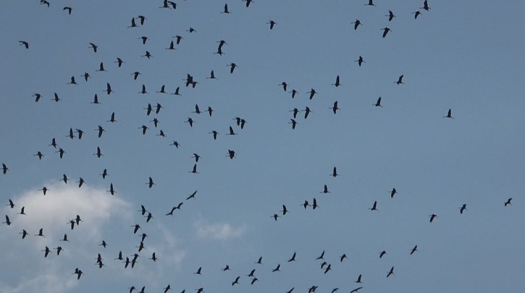 Hatay'da göç eden turnaların muhteşem görüntüsü