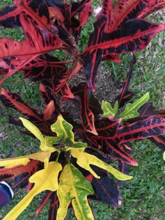 Tropical Plant Red Foliage Port Douglas