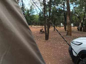 Kangaroo feeding joey