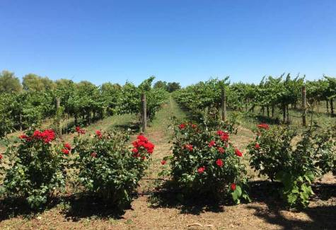 Roses and vines