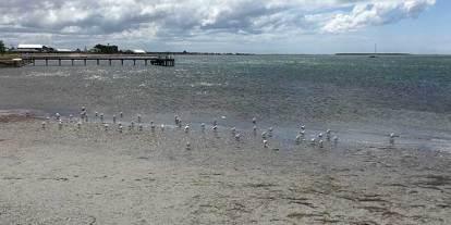 Port Albert Sea Gulls
