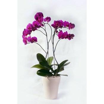 Orchid Daila - Hatiku Florist Jakarta