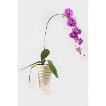 Orchid Daisha - Hatiku Florist Jakarta