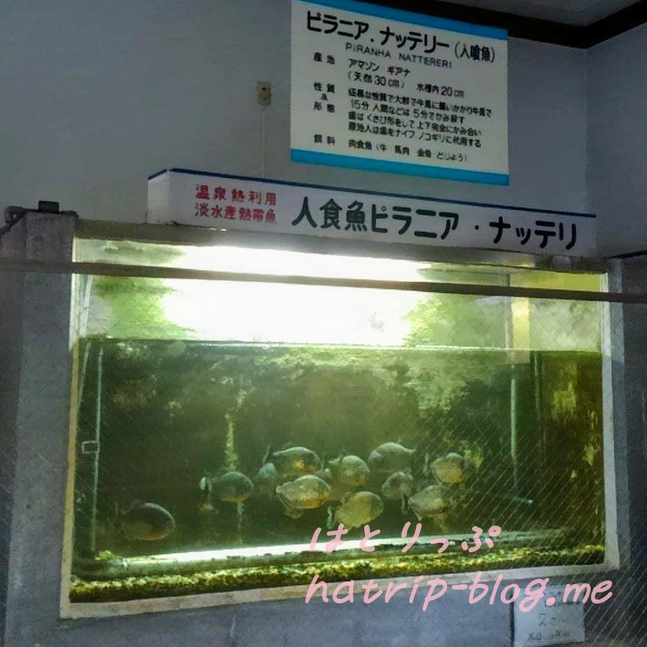別府地獄めぐり 白池地獄 熱帯魚館 ピラニア・ナッテリー