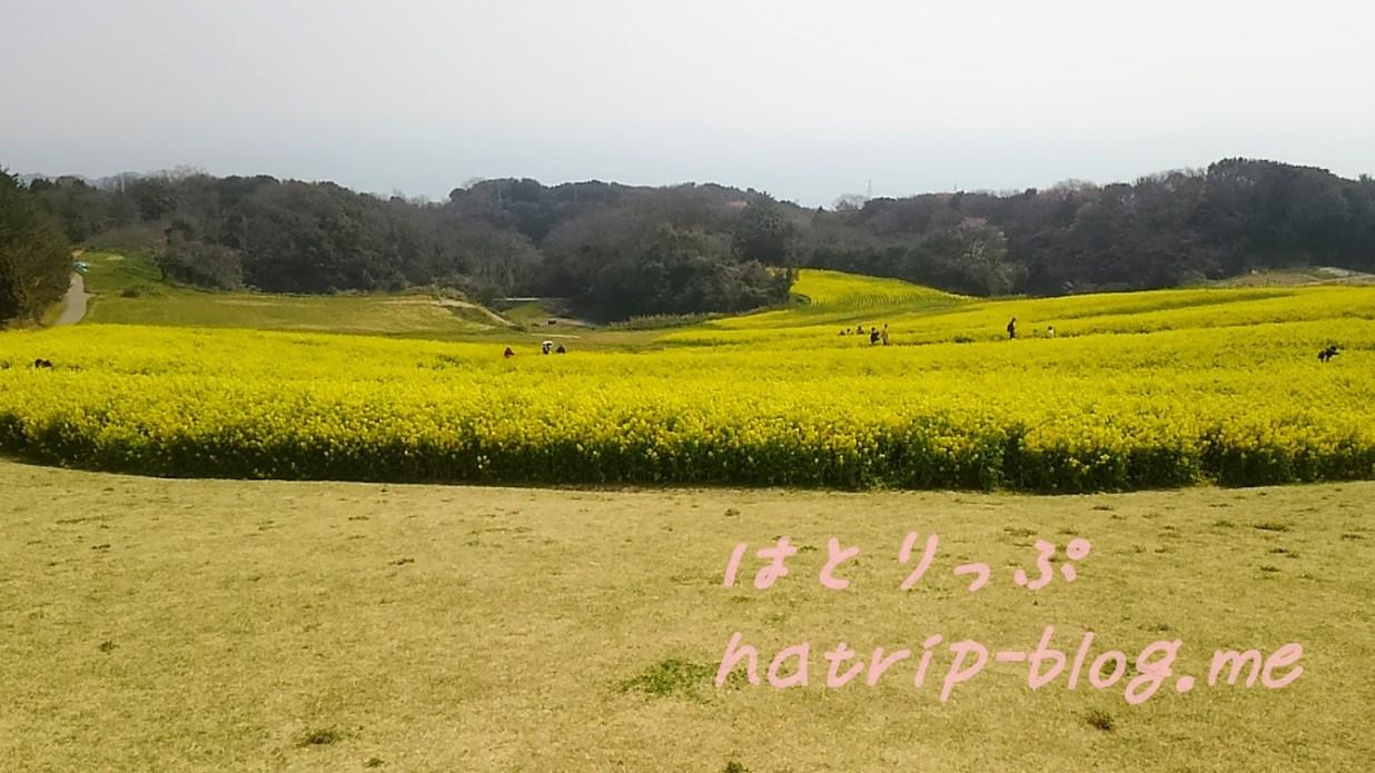 淡路島 あわじ花さじき 見頃 菜の花畑