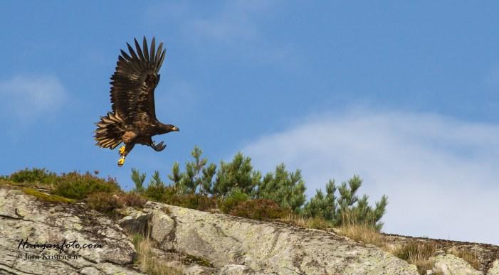 Her ser vi den første ørna i det den letter. Majestetisk fugl.