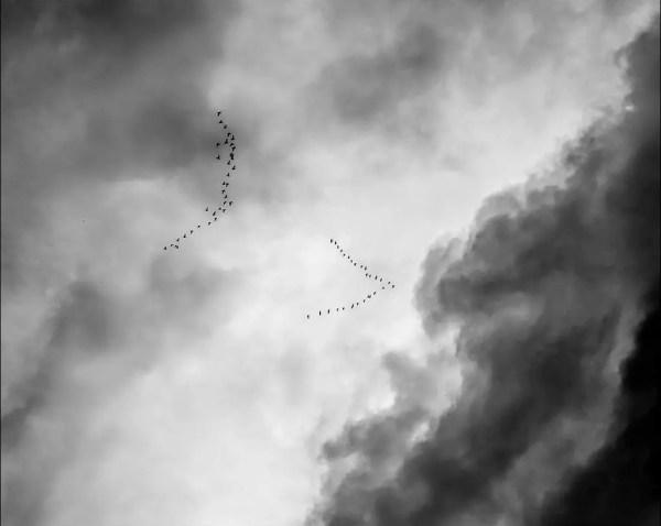 la migration des oises en traversant la ville de Kiel
