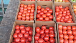 Disease Problems with NJ Tomatoes, Potatoes, Could Lead to Claims