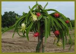 Ecuadorian Dragon Fruit (Pitahaya)Imports by U.S. Soar in First Year