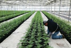 Former Veggie Greenhouses Converted to Cannabis Production Headed to NASDAQ