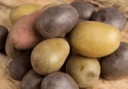 California Potato Shipments are Underway by Cal-Organic