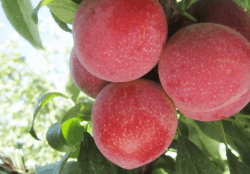 Verry Cherry Plum Volume to Have Significant Volume Increase