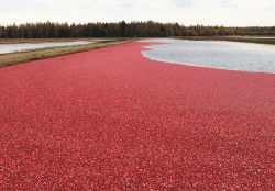 Cranberry Shipments, Led by Wisconsin, Similar to a Year Ago