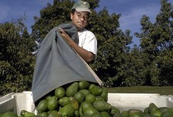 Westfalia Eyes Colombian Avocado Growth with Exports to U.S. in Mind