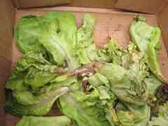 California Lettuce Crop Virus Outbreak Could Lead to Quality Claims