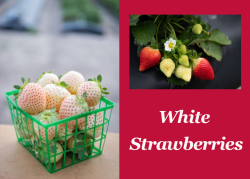 White Strawberry introduced to U.S. Market by University of Florida
