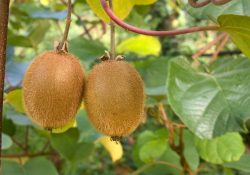 Record Kiwifruit Harvest is Underway in New Zealand