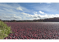 Massachusetts Expects to Ship an Average Crop of Cranberries This Season