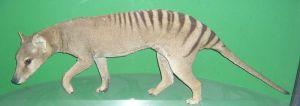 800px-ThylacineOslo