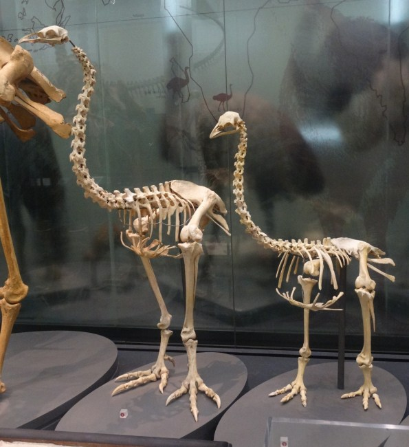 Moa and Various Skeletal displays at the Auckland War Museum