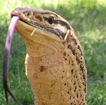 Kumi Lizard – NZ's Giant Enigmatic Lizards