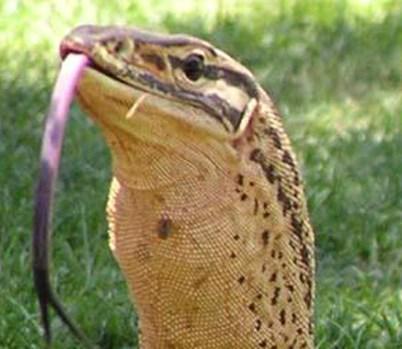 Kumi Lizard – NZ's Giant Enigmatic Lizards