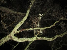 The Three Witches, Auckland Domain 12