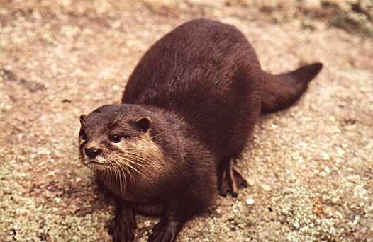 Waitoreke - Giant Otter