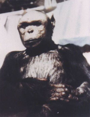 Could Bigfoot be a Hybrid Humanzee