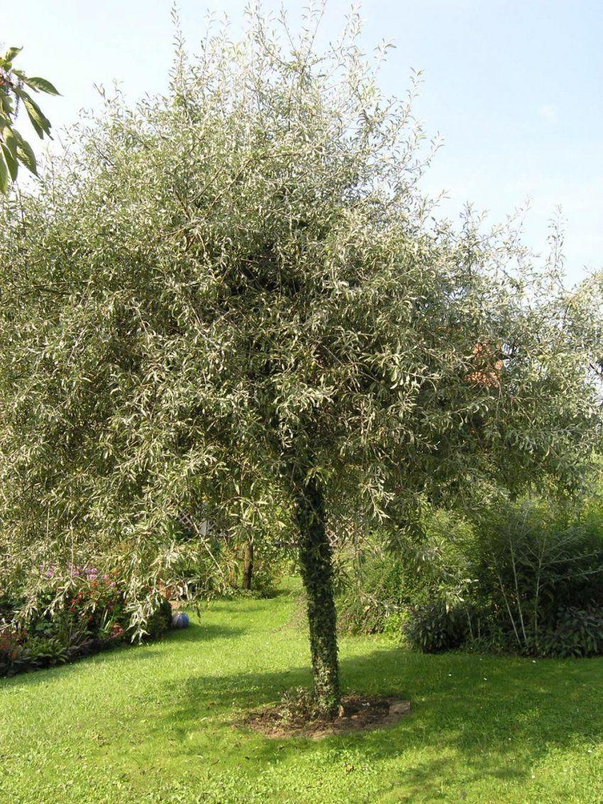Schnell Wachsende Baume Garten  letsgototourclub