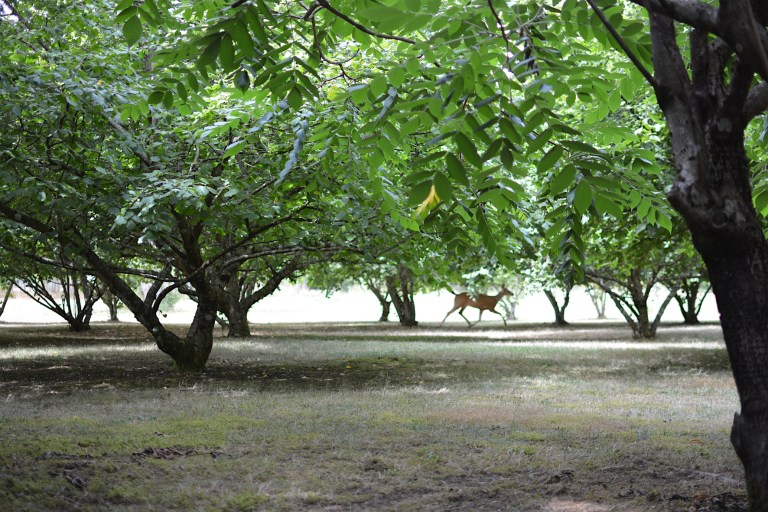 A deer sprints through the hazelnut trees on Afton's property. Photo: courtesy of Afton Halloran