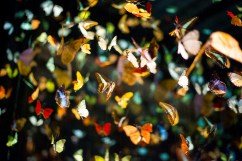 Beautiful glowing walls of butterflies