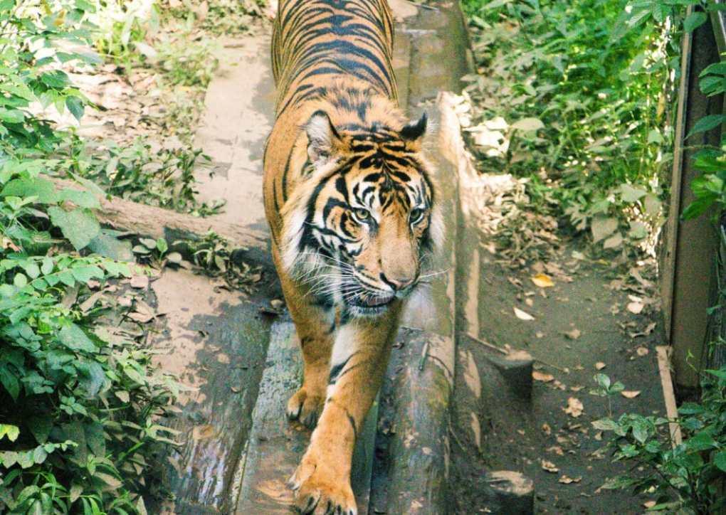 Ueno Zoo tiger
