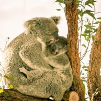 sleeping koalas