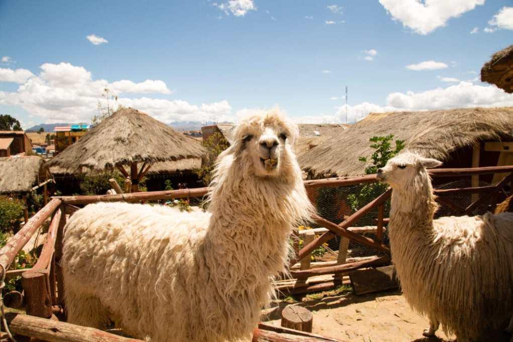 The alpacas!