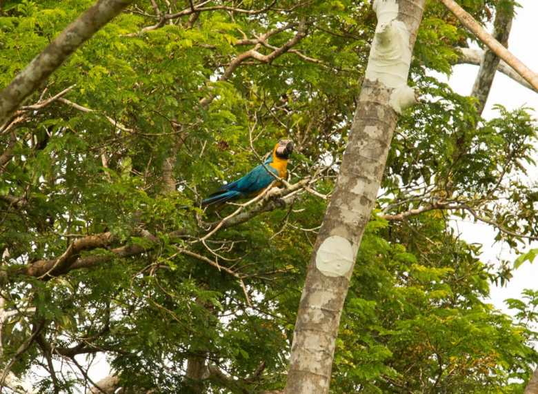 macaws in the amazon rainforest