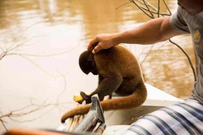 Monkey in the Amazon