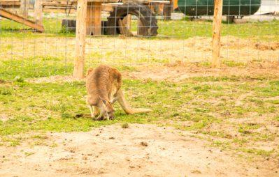 Kangaroos at Doc's