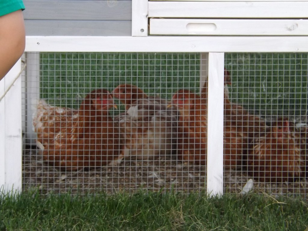 Chickens settling in for movie