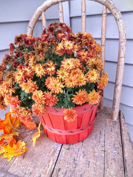 fall-mums-in-apple-basket