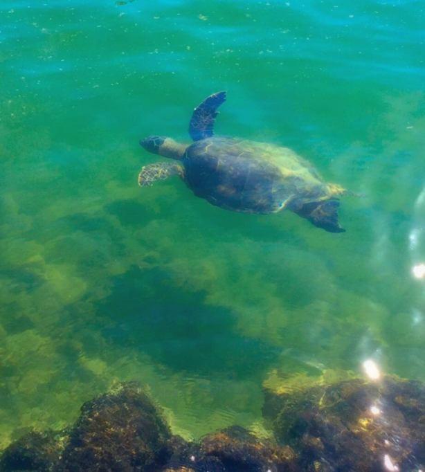 Turtles at Paradise Cove near Aulani