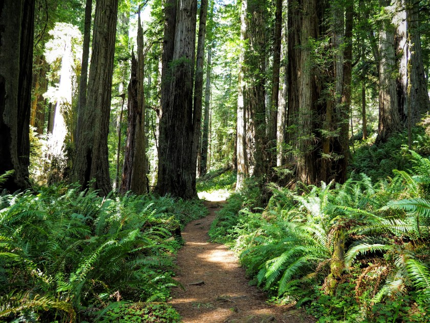 A path through ferns in a redwood forest
