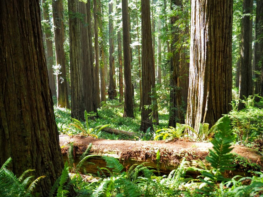 Ferns and redwood trunks in a deep redwood forest with a fallen log